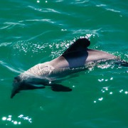 dolphin cruise maldive